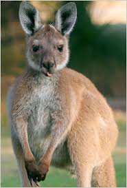 Image result for cute kangaroos