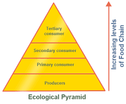 ecological pyramid   pyramid of numbers with diagram   biology    ecological pyramid