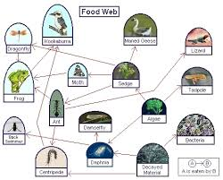 scurernihar  food web diagram templatefood web diagram template  simple food chain diagram
