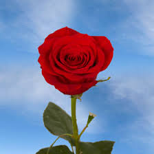 <b>Red Roses</b> - <b>Wholesale Red Roses</b> | GlobalRose
