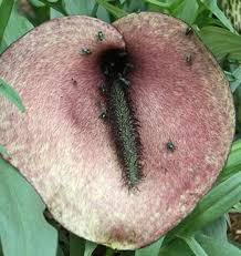 Learn about Helicodiceros muscivorus | Pig Butt Arum | Perennial ...
