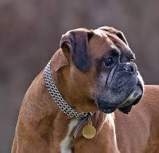 Raza de perro Boxer Images?q=tbn:ANd9GcQ-Qd2JtqVLCnRRsfFolRkRUnBOl6Ao3o5KzO1E0i54KEn2n67Z