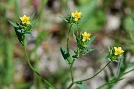 Linum strictum subsp. corymbulosum (Linum corymbulosum) - Pallano