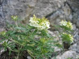 Teucrium montanum – Wikipedia