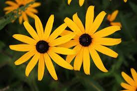 Rudbeckia fulgida - Michigan Flora