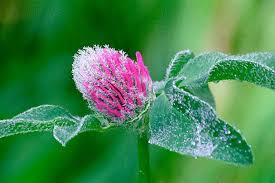 Trifolium pratense Calflora