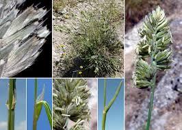 Dactylis glomerata L. subsp. hispanica (Roth) Nyman - Sistema ...