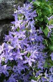Campanula garganica   Adriatic bellflower/RHS Gardening