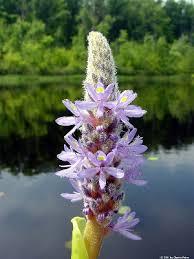 Pontederia cordata - Michigan Flora