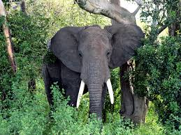 the world s most dangerous game to hunt hunter safety blog the most dangerous game to hunt african elephant loxodonta africana