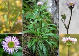 Erigeron alpinus L. - Sistema informativo sulla flora delle Alpi ...