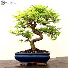 chinese elm tree sale chinese elm bonsai tree
