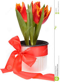 Image result for red tulips in pot