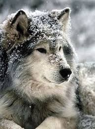 262 Best Natuur images in 2019   Beautiful <b>wolves</b>, <b>Animals</b> ...