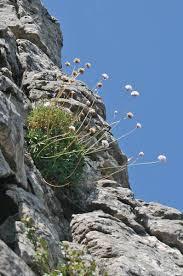 Armeria morisii, flora di Sardegna