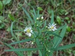 Small White Aster (Aster vimineus) - MinneFlora
