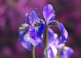 Irises: How to Plant, Grow, and Care for Iris Flowers | The Old ...