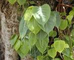 Images & Illustrations of sacred fig