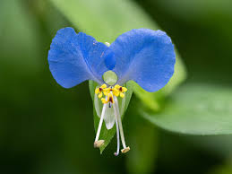 Commelina communis - Wikipedia