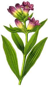 Gentiana purpurea PFAF Plant Database