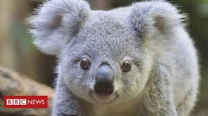 '<b>Koala</b> war' splits Australia's New South Wales government - BBC ...