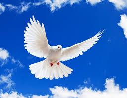 Resultado de imagem para pomba branca
