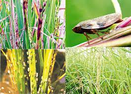 ผลการค้นหารูปภาพสำหรับ แมลง และศัตรูพืช