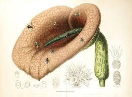 Helicodiceros - Wikipedia