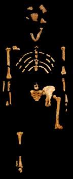 american anthropology cast of the skeleton of lucy an australopithecus afarensis