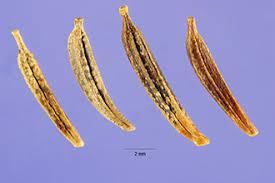 Plants Profile for Cosmos bipinnatus (garden cosmos)
