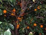tangelo tree