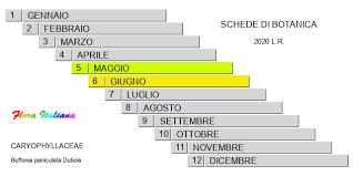 Buffonia paniculata [Buffonia pannocchiuta] - Flora Italiana