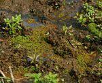 Flora of Zimbabwe: Family page: Salviniaceae