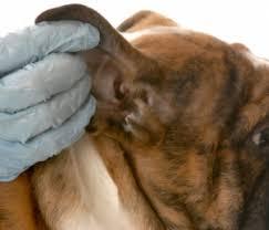 Как измерить температуру у собаки? А без термометра?