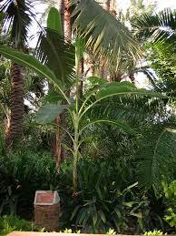 Musaceae - Wikipedia