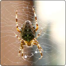 Spiders Commonly Found in Gardens and Yards - Susan Masta ...