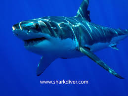 another catch and kill order for a great white shark shark diver it then goes on to say that the state s fisheries department issued a catch and kill order for the shark saying there was an imminent threat of more