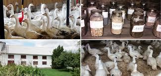 Résultats de recherche d'images pour «canard gouteux»