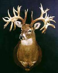 hole in horn buck