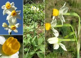 Narcissus tazetta L. - Sistema informativo sulla flora del parco di ...