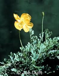 Alpine <b>Poppy</b> - Montana <b>Field</b> Guide