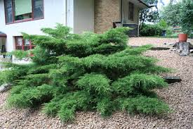 Image result for evergreen shrubs