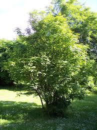 Staphylea pinnata - Wikipedia