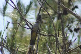 Madagascan cuckoo