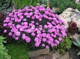 <b>Гвоздика</b> садовая многолетняя: посадка и уход, фото