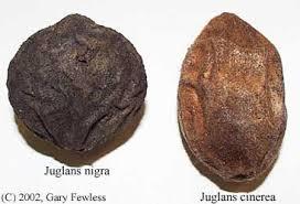 Juglans Nigra. Blackwalnut
