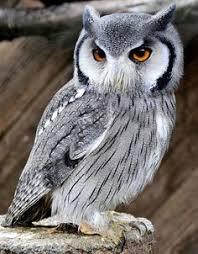 346 Best <b>Owls</b> images in 2019 | <b>Owl</b>, <b>Beautiful owl</b>, <b>Birds</b> of prey