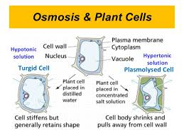 Plant water relation - Osmosis