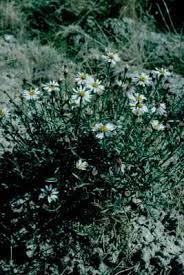 Tripolium sorrentinoi - Wikipedia