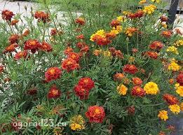 <b>Бархатцы</b> - выращивание из семян, когда сажать